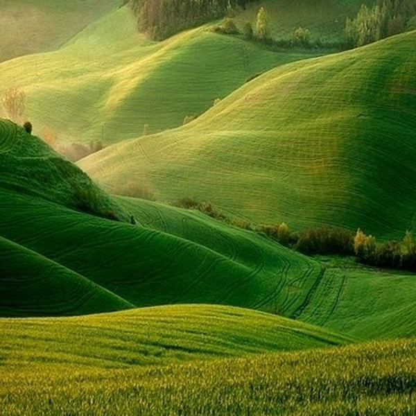 Semolina wheat fields in Spring, Italy