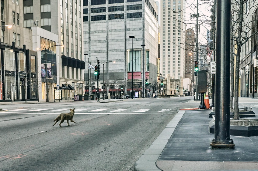 Wild coyote walking down a deserted Michigan Avenue in downtown Chicago during the economic shutdown of 2020, photo by MichaelNovo