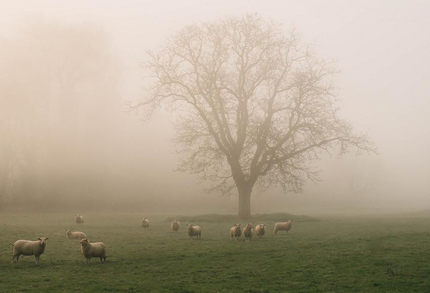 Sheep in a misty field,England