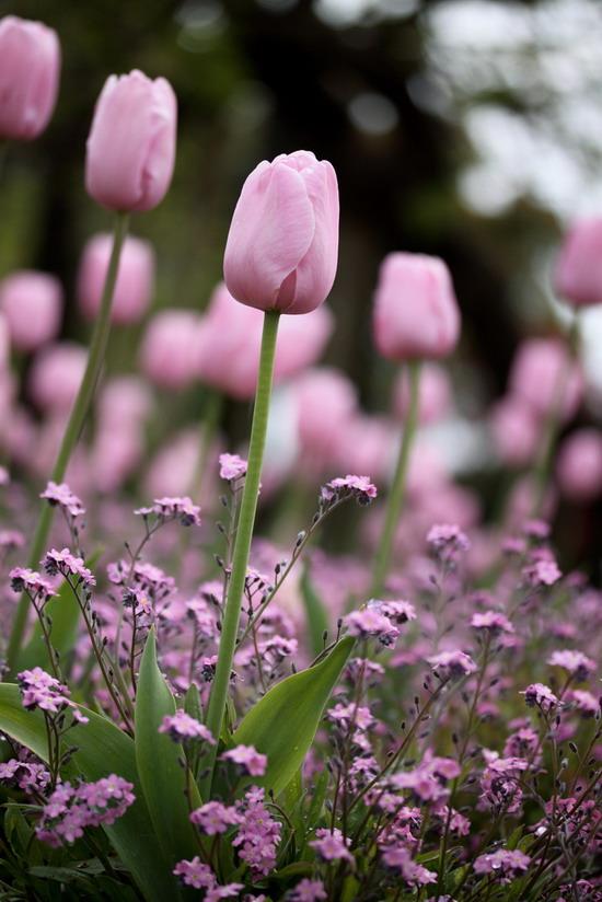 Pink Tulip by Masanori Kurachi