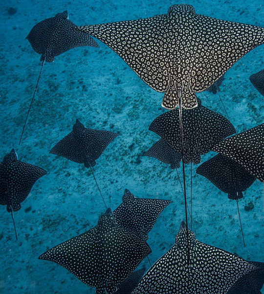 RAYS SPOTTED