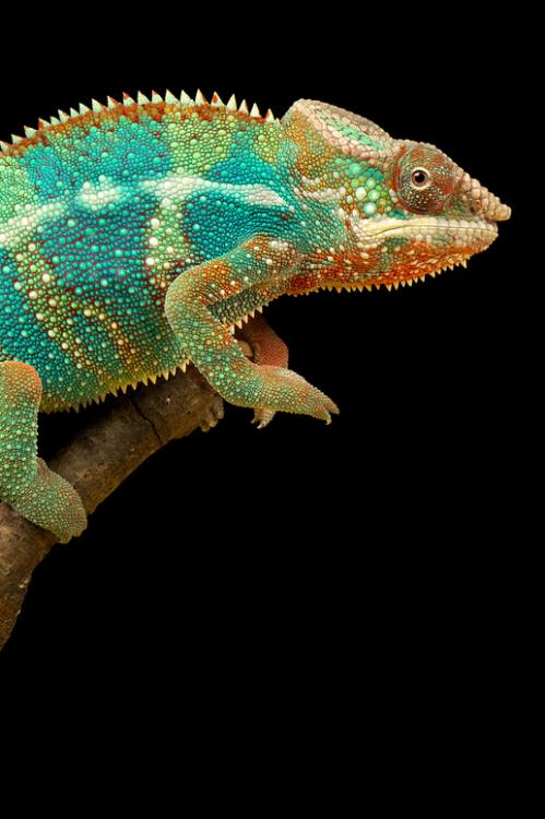 iguana 41