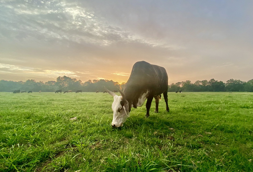 Grazing cattle, Texas