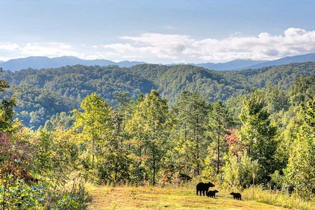 Black bears in the Great SmokyMountains