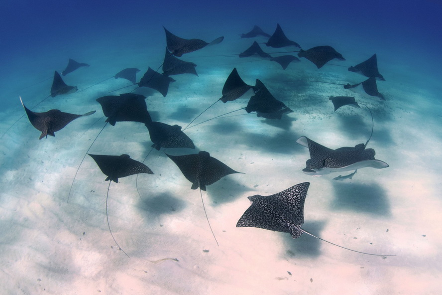 Spotted Rays