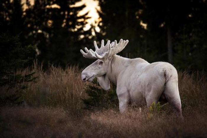 Albino Moose