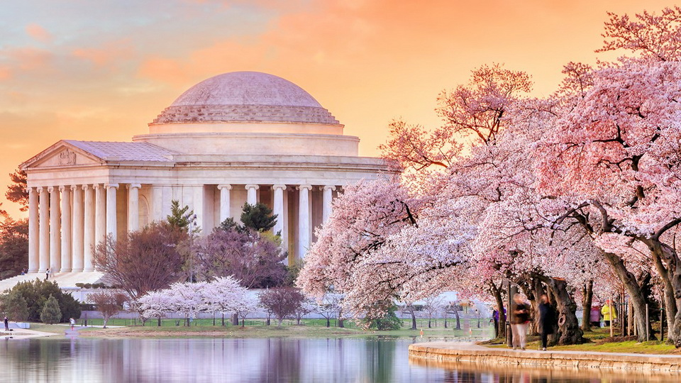 Cherry blossoms and the Jefferson Memorial, Washington DC