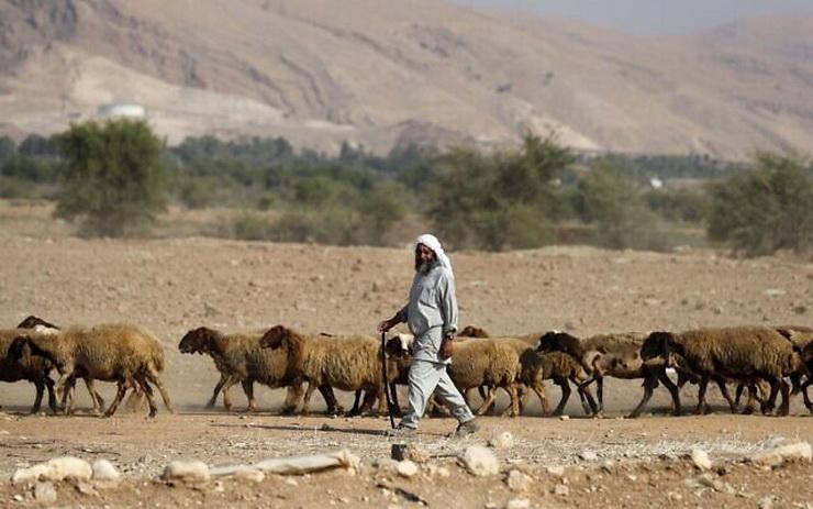 Palestinian sheep herder