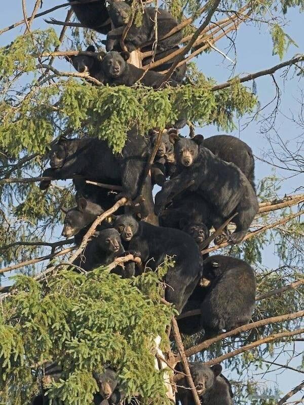 Bears in atree