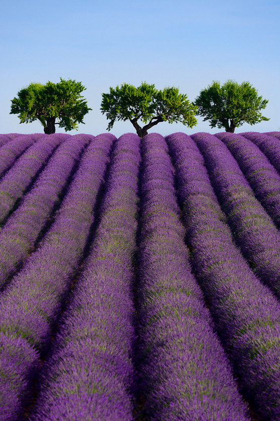 Lavender field in southernFrance